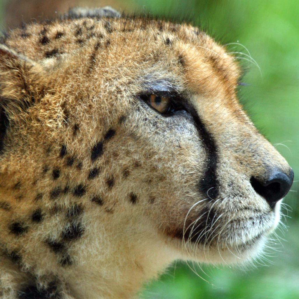 Cheetah Book
